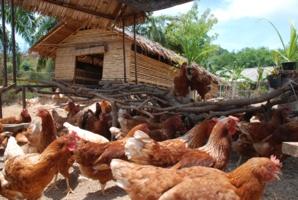 En Thaïlande, Six Senses lance son élevage de poulets bio