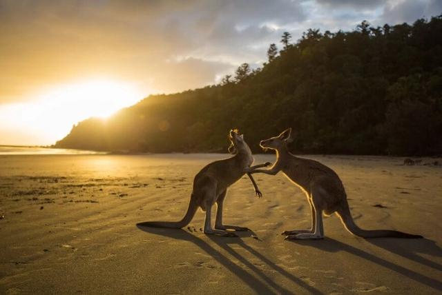 Cuir de Kangourou : PETA gagne une bataille mais pas la guerre